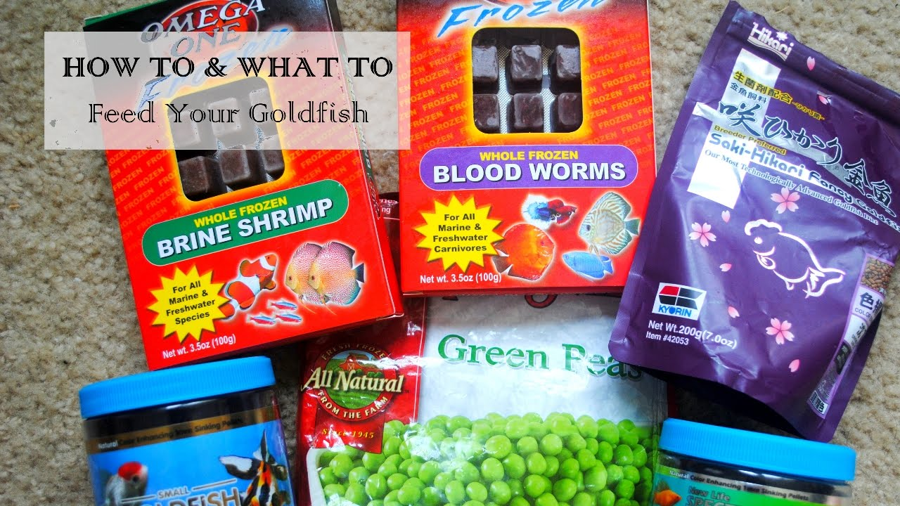 How and What to Feed Your Goldfish
