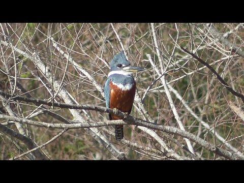 Ringed Kingfisher female