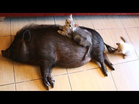 2 Cats, 1 Pig - Super Cute Video!