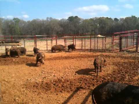 Wild Hogs!!