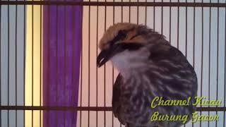 Download Mp3 Video Cucak Rowo Ropel, Suara Asli Cucak Rowo