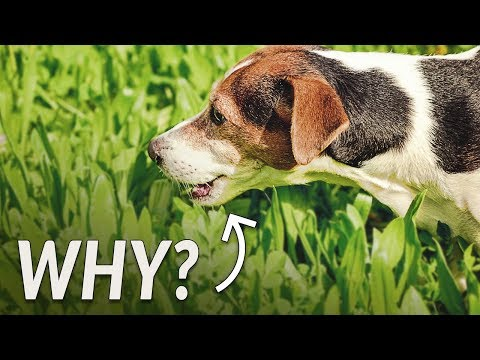 A Vet's Take: Why Your Dog Eats Grass