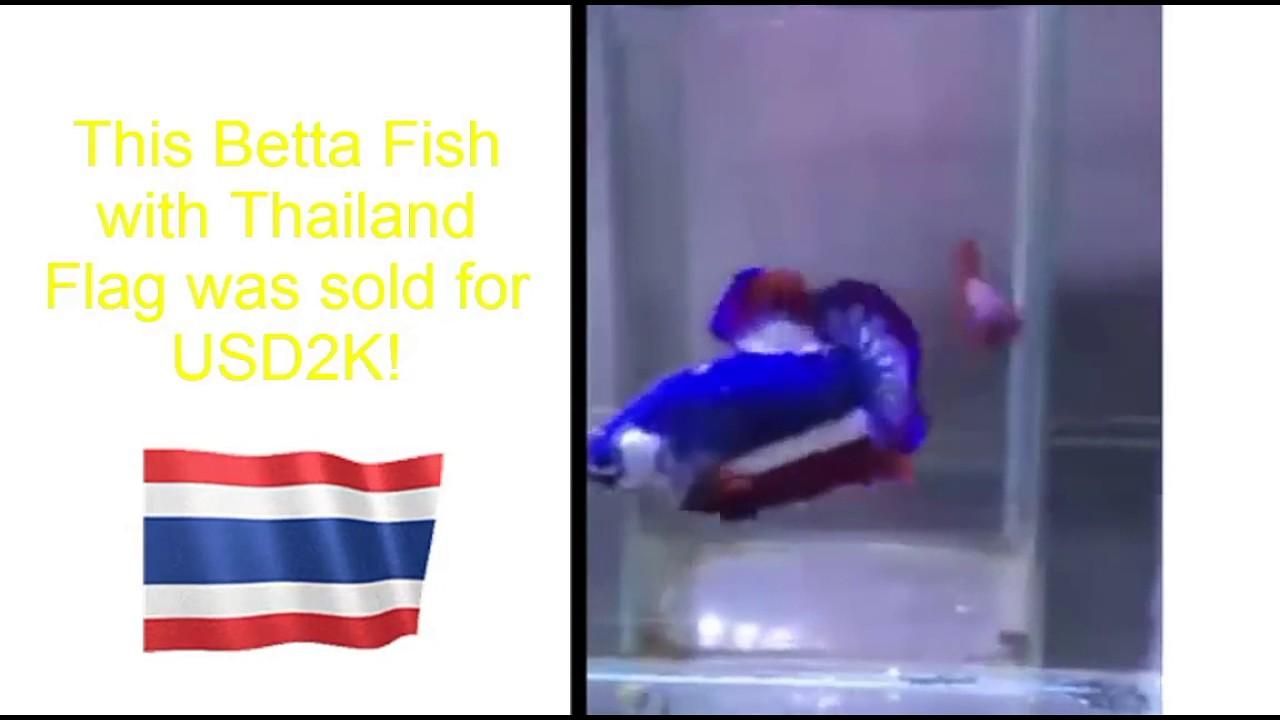 700+ Gambar Ikan Cupang Thailand Gratis Terbaru