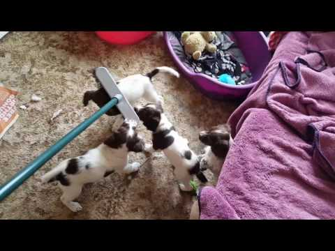 Ess Broom Attack.  English Springer Spaniel puppies attacking my broom