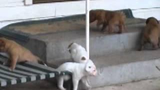 Lulu And Dominique Dogue De Bordeaux X American Bulldog Puppies