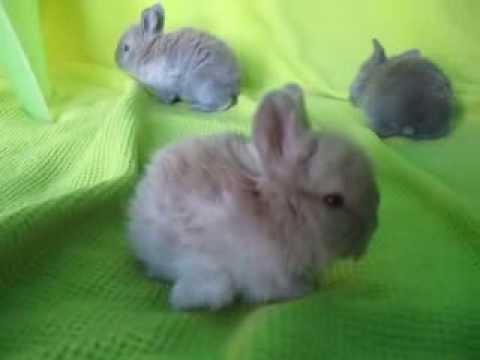 english angora baby bunnies youtube