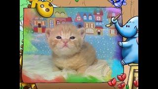 Маленькие Британcкие котята. Купить котенка. Питомник House Arletta British