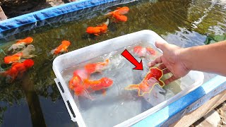 HOW TO BREED  Ranchu GOLDFISH  with great SUCCESS?
