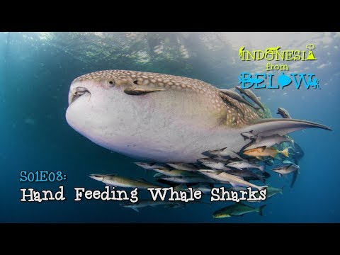 hand-feeding-whale-sharks-on-derawan-island-[4k]-|-indonesia-from-below-(s01e08)-|-sztv
