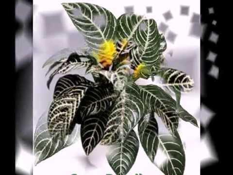 Гардения жасминовидная Gardenia jasminoides уход в