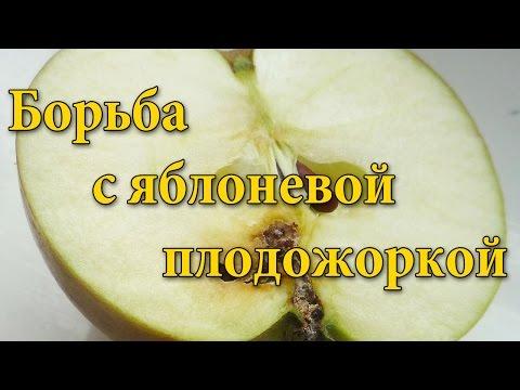 Яблоневая плодожорка. Меры борьбы с яблоневой плодожоркой.