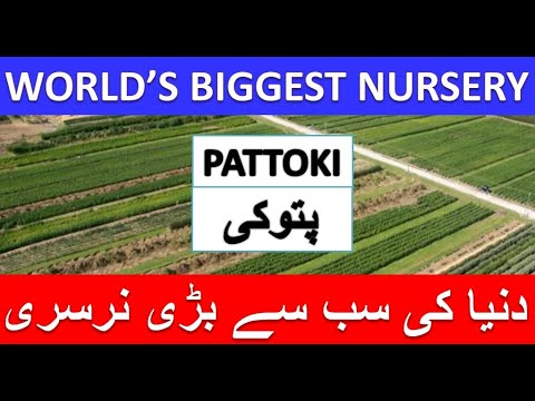 Worlds Biggest Nursery || Pattoki Pakistan|| Madinah Nursery || Plants || پتوکی