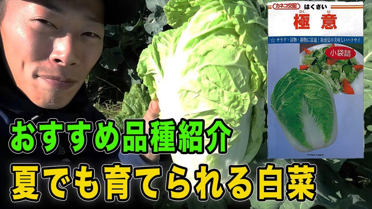 夏でも育てられる白菜 ミニ白菜「極意」の紹介