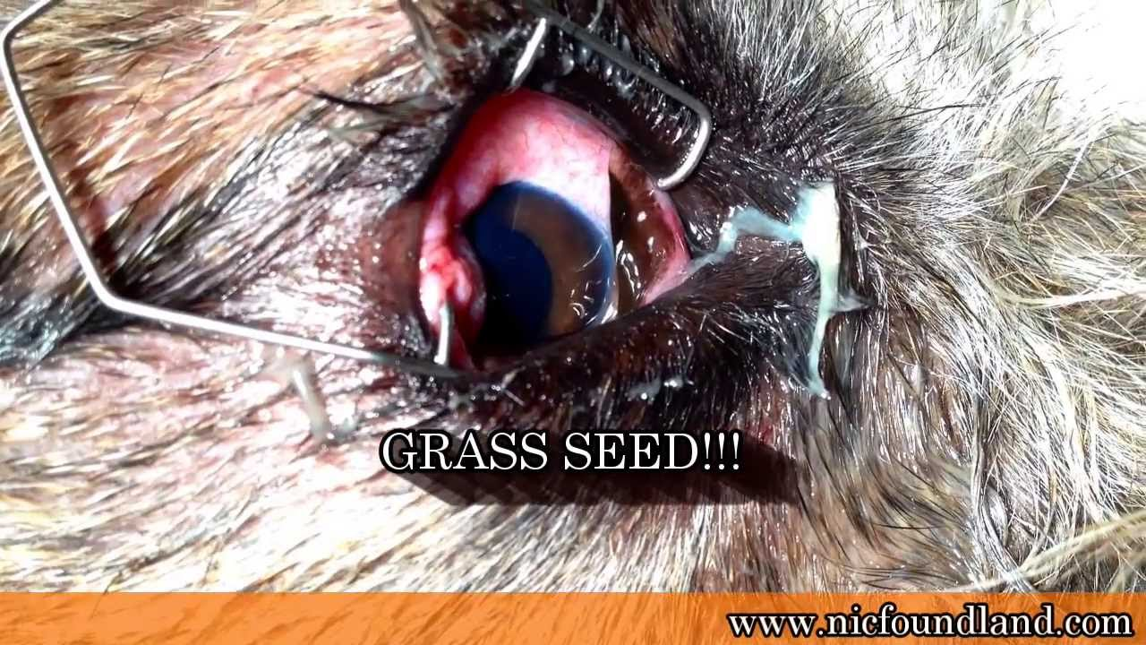 Grass Seed In The Eye Of A Dog Fortitude Valley Vet