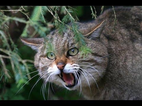 Как охотится лесной кот?