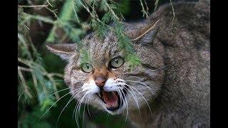 Как охотится лесной кот
