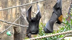 Bat Pees