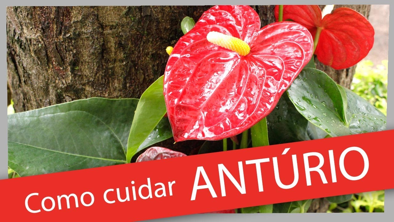 Ant rio youtube for Plantas de interior anturio