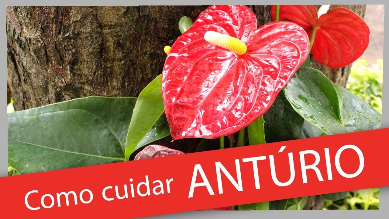 Ant rio doovi for Anturio cuidados