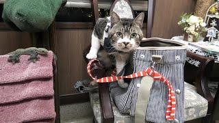 椅子とバッグの間に挟まる猫☆犬の歌声に翻弄されて謎の行動をとるリキちゃん・動物病院診療後のひととき【リキちゃんねる・猫動画】cat Video キジトラ猫との暮らし