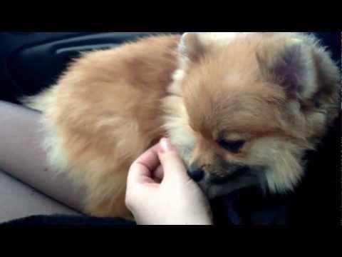 Полезная информация о породе собак померанский шпиц| Шпиц