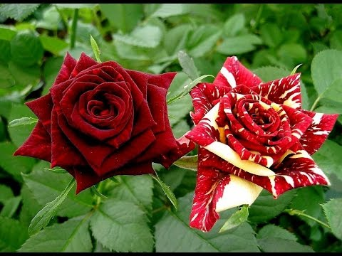 Las Rosas Mas Bonitas del Mundo