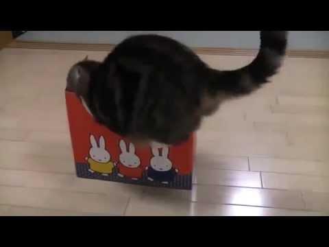 Смешной кот в коробках, пытается залезть во все коробки  Прикол, юмор, смешно  Эти смешные животные