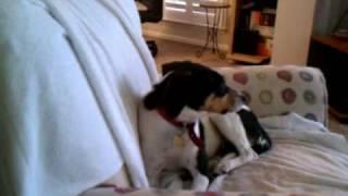 Felicity The Beagle/ Rat Terrier Mix