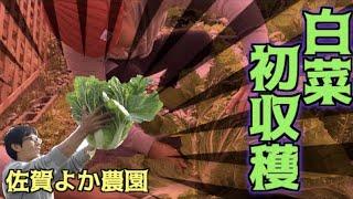 YouTube動画:佐賀よか農園白菜初収穫!!
