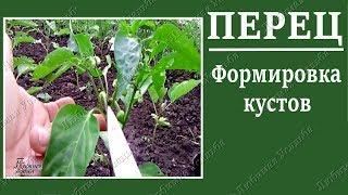 Выращивание перца .Как формировать кусты перца.