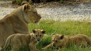 США вступились за африканских львов (новости)(http://ntdtv.ru/ США вступились за африканских львов. Соединенные штаты теперь будут защищать африканских львов...., 2015-12-22T14:02:59.000Z)