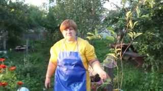 видео Обрезка груши весной схема, пошаговая инструкция
