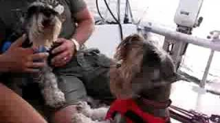 Schnauzer Howl On A Sailing Boat