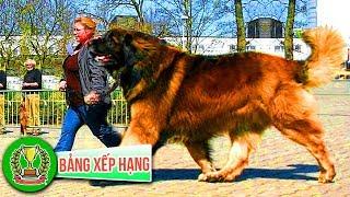 Top 10 Loài Chó To Lớn Nhất Thế Giới | Bảng Xếp Hạng ✅