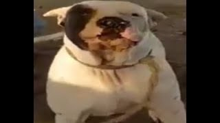 BULLY KUTTA BULLY DOG LAVA