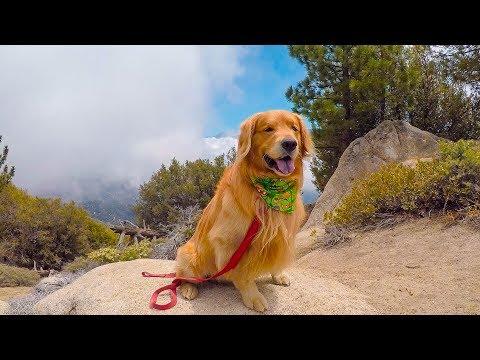 Hiking Big Bear Pine Knot Trail   Golden Retriever VLOG
