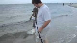 Jamie The Weimaraner Puppy's First Beach Trip