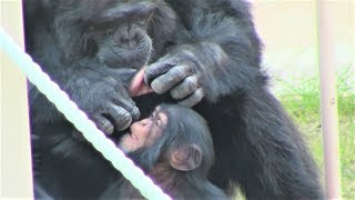 0:00リュウが、カランの毛づくろい。Ryu makes grooming of Karan. 4:40...