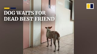 Stray dog in the Philippines waits for dead best friend