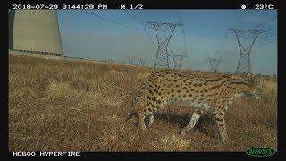 В ЮАР рядом с химзаводом процветают редкие хищники сервалы