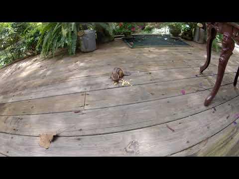 Ground Squirrel eating wildlife corn