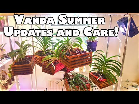 Vanda Summer Updates And Care In Warmer Weather! 🌞