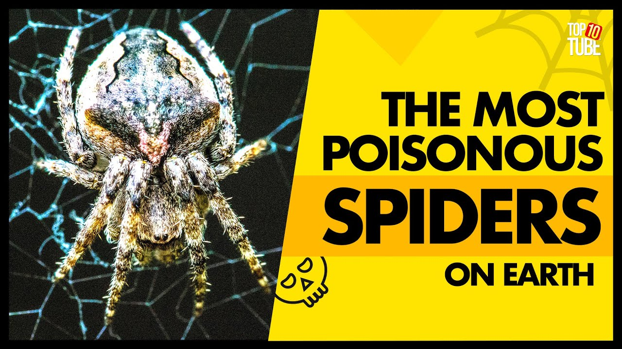Download Top 10 Most Poisonous Spiders On Earth ~ Top10 Tube