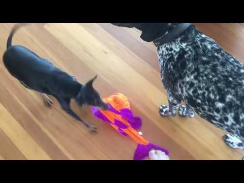 German Shorthaired Pointer and Manchester terrier playing