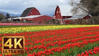 4K Multicolored Tulips - Flowers Relaxation Video | Skagit Valley Tulip Festival - Episode #4