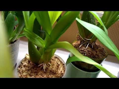 Орхидея Камбрия, уход.