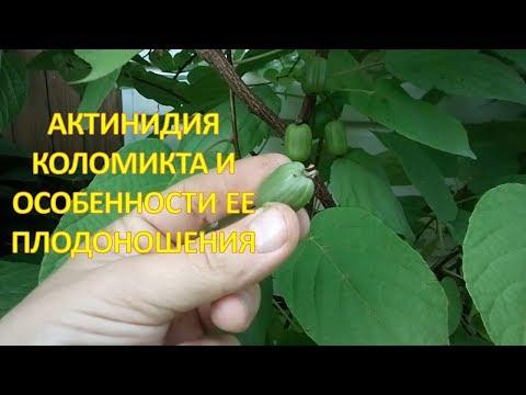 Достоинства и недостатки АКТИНИДИИ коломикта в период плодоношения. Выращивание актинидии коломикта.