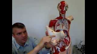 Digestive Quick Anatomy