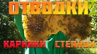 отводки Карники и Украинской Степной пчела на подсолнухе.