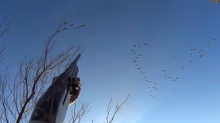 Охота на гусей видео 2016